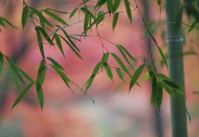 foglie-bambu
