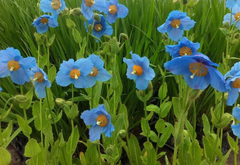 bleu dell'himalaya