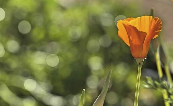 fiore arancio